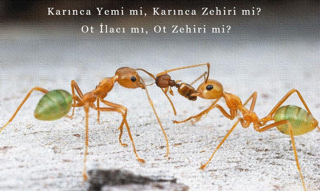 karınca yemi mi zehiri mi